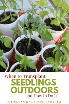 Beginner Gardening Knowing how and when to transplant seedlings is valuable gardening knowledge. Learn to introduce your precious little plants to your garden successfully. Garden Plants Vegetable, Planting Vegetables, Garden Pests, Organic Vegetables, Planting Seeds, Growing Vegetables, Planting Flowers, Garden Insects, Garden Fertilizers