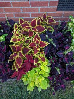 Post with 9413 views. Loving my border of coleus Lawn Design, Plants, Garden, Front Yard Landscaping, Backyard Makeover, Lawn And Garden, Trees To Plant, Shade Plants, Faux Plants Decor