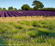 A few years ago I stayed w/ friends who live in the countryside, near Bath next to lavender fields. The scent of the sun warming the flowers was unfogettable.