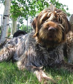 Wirehaired Pointing Griffon. @dmitch66 this is what I want  the beard! I'd die from happiness