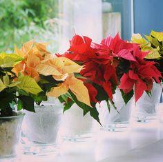 Embrulhamos #gratuitamente a sua Estrela de Natal! #poinsetia #poinsettia #estreladenatal #natal #jardiland