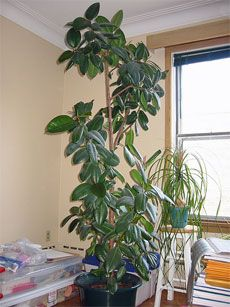 how to trim your rubber tree plant. This sight has other information about caring for this plant as well