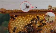 Der Bücherskorpion hat das Potenzial, die Varroa in Schach zu halten.