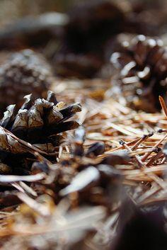 ~ Autumn ~ Pinecones