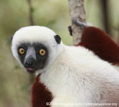 Environmental science and conservation news Primates, Mammals, Types Of Monkeys, Shark Conservation, Slow Loris, Baboon, Animal 2, Happy Animals, Madagascar