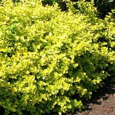 Euonymus fortunei Emerald n Gold - 1 shrub Buy online order yours now Ground Cover, Evergreen Climbing, Bulb Flowers, Evergreen Plants, Plants, Monrovia Plants, Planting Flowers, Evergreen Vines, Dream Garden Backyards