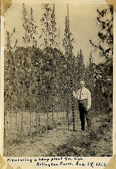 Lyster Dewey, a botanist for the U. Department of Agriculture in the early seen with at Arlington Farm Mary Janes, Endocannabinoid System, Cannabis Plant, Cannabis Oil, Medical Cannabis, Hemp Oil, Old Photos, Weed, Vertical Gardens