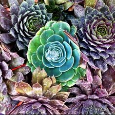 I heart succulents