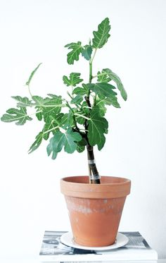 fig trees are so cute! love the idea of using it as an indoor plant.
