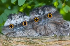 Introducing one of the many faces of Frogmouth bird, not to be confused with owls. It is nocturnal and native to Southeast Asia & Australia.