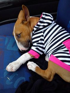 Cute #Bull #Terrier