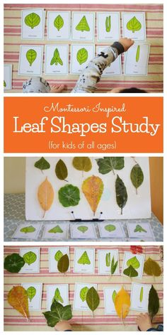 Montessori Inspired Leaf Shapes Study:can be a stand alone activity or part of the botany unit. Science Montessori, Montessori Homeschool, Montessori Classroom, Preschool Science, Homeschooling, Preschool Shapes, Nature Activities, Autumn Activities, Sensory Activities
