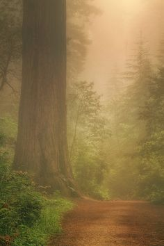 Forest Trail  - Redwood National Park