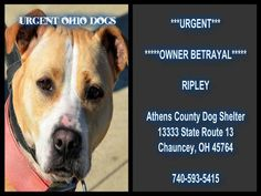 ***URGENT***  *****OWNER BETRAYAL*****   This girl is a female spayed pit bull terrier that is 3 years old.  Ripley was owner surrendered through no fault of her own!   Ripley has it all: looks, personality, and intelligence! She is just missing the most important piece A GOOD HOME!  Athens County Dog Shelter 13333 State Route 13 Chauncey, OH 45764  740-593-5415  https://www.facebook.com/photo.php?fbid=719739811374481&set=a.252994508049016.80576.250169258331541&type=1&relevant_count=1&ref=nf