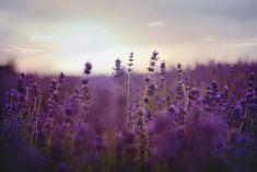 Ahhoz, hogy legyen mit ültetni, a levendula szaporítását kell valamilyen formában teljesíteni. Az alább található cikkekben több cikk által kisebb-nagyobb praktikákat, tippeket, jótanácsokat osztunk meg, ezzel segítve a kedves Olvasót a levendula szaporítás fortélyainak megismerésében. Waves Photography, Landscape Photography, Photography Flowers, Photography Ideas, Lavender Fields, Lavender Flowers, Lavender Oil, Insect Repellent Plants, Photoshop