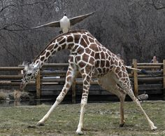 reticulated giraffe dodges the advance of a Canada goose that was protecting its territory ... Brookfield Zoo in Brookfield, IL - Jim Schultz, Chicago Zoological Society/AP