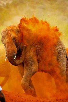 INDIA: Elephant in Orange Holi colors.