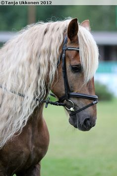 Finnhorse gelding Pyry Waan ( Please don't troll - this is the description… Majestic Horse, Beautiful Horses, Palomino, Animals And Pets, Cute Animals, Strongest Animal, All About Horses, Draft Horses, Horse Breeds