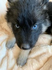 Gerberian Shepsky Mix Puppy For Sale In Harrison Ar Usa