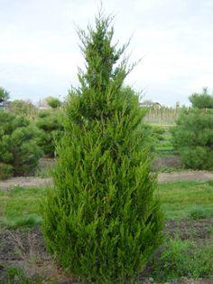Ezeket is ültesd tuja helyett | Gardenista Herbs, Garden, Plants, Autumn, Garten, Fall Season, Lawn And Garden, Herb, Gardens