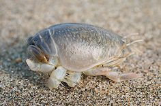 Pacific Mole Crab (Emerita analoga) | The tail is the left end, and its head is on the right.