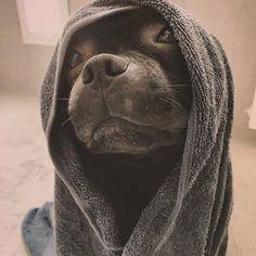 Amstaff and Pitbulls ( Staffy Dog, Amstaff Puppy, Cute Little Animals, Cute Funny Animals, Pet Dogs, Dog Cat, Doggies, Pitbulls, Staffordshire Bull Terrier