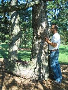 Austrian Pine---Morton Arboretum
