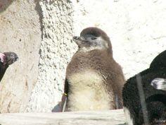 ケープペンギン 雛:動物の写真:So-net blog