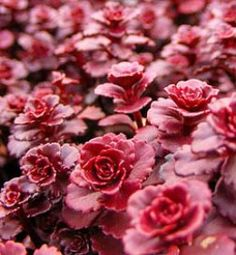 Dragon's blood sedum may be the hardiest and most versatile of all weed-suppressing ground covers.    A cultivar of the succulent Sedum spurium, Dragon's blood ('Schorbuser Blut') is hardy in Zones 3-8. Not only does it grow in full sun as well as partial shade, but it also thrives in poor soil.