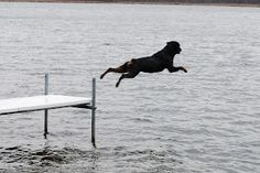Rottweiler jumping of pier Best Dog Photos, Funny Dog Photos, Rottweiler Pictures, Rottweiler Breed, German Dog Breeds, Image Hd, Big Dogs, Rottweilers, Dog Lovers