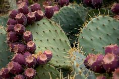 Planting Prickly Pear Cactus: How To Grow A Prickly Pear - Prickly pear plant is an excellent arid garden specimen. Growing prickly pear in colder climates can be done in containers. Read this article to find tips on growing prickly pear cactus plants. Prickly Pear Recipes, Prickly Pear Cactus, Cactus Recipe, Prickley Pear, How To Grow Cactus, Cactus Planta, Edible Wild Plants, Wild Edibles, Companion Planting