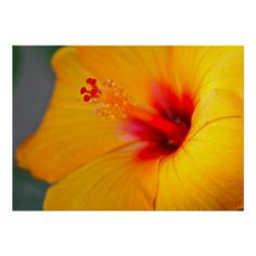 =>quality product          	Orange Hibiscus Posters           	Orange Hibiscus Posters lowest price for you. In addition you can compare price with another store and read helpful reviews. BuyThis Deals          	Orange Hibiscus Posters today easy to Shops & Purchase Online - transferred direct...Cleck Hot Deals >>> http://www.zazzle.com/orange_hibiscus_posters-228398794019901966?rf=238627982471231924&zbar=1&tc=terrest