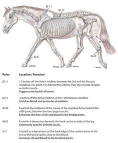 Acupressure for Arthritis in Horses and Dogs. Dressage, Arthritis, Horse Therapy, Therapy Dogs, Shiatsu, Horse Anatomy, Horse Facts, Horses And Dogs, Horse Tips