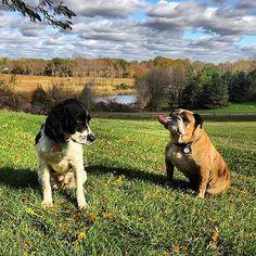 Afternoon adventure. #dog #dogs #englishbulldog #englishspringerspaniel #springer #spaniel #springerspaniel #bulldog #katanddog