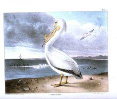 Vintage public domain illustration of a Pelican.