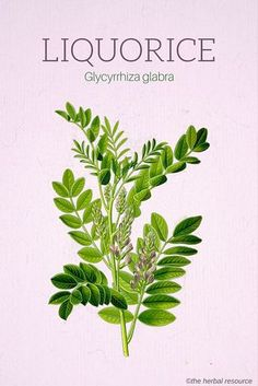 Holistic Health Remedies - Information on the Health Benefits, Side Effects, Tradtitional Uses of the Licorice Root (Glycyrrhiza glabra) as Herbal Medicine Holistic Remedies, Herbal Remedies, Natural Remedies, Health Remedies, Herbs For Health, Healthy Herbs, Herbal Plants, Medicinal Plants, Container Plants