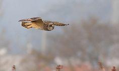 Coruja-do-nabal / Short-eared owl   Flickr - Photo Sharing!