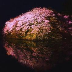 【510neee】さんのInstagramをピンしています。 《❀ . . #ファインダー越しの私の世界  #写真好きな人と繋がりたい  #写真撮ってる人と繋がりたい  #東京カメラ部 #日本 #彦根城 #桜  #Japan #Japan_art_photography #lovers_nippon #team_jp #team_jp_西 #ptk_Japan #tokyocameraclub #whim_life #bestJapanpics #ig_Japan #Instagood #beautiful #lovephoto #wp_japan #japan_night_view #wp_flower #wu_Japan #tagsforlikes . . . 2016.4.3》