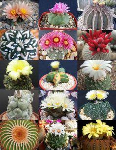 RARE CACTUS MIX rare plant exotic cacti flowering desert succulent seed 20 seeds