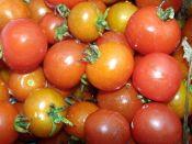 Mexico Midget Heirloom Cherry Tomato from TomatoBob.com