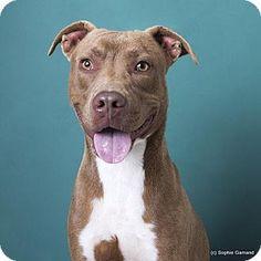 Anniston, AL - Pit Bull Terrier Mix. Meet Omar, a dog for adoption. http://www.adoptapet.com/pet/16690860-anniston-alabama-pit-bull-terrier-mix