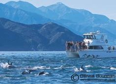 "Our vessel 13 metre catamaran ""Lissodelphis"" following a large pod of dolphins with the spectacular backdrop of the Kaikoura Seaward mountain range"