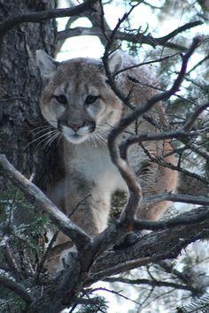 *Mountain Lion