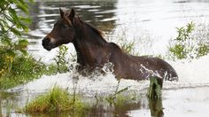 """A plan to cull almost all of Australia's famous Snowy Mountains wild horses, known as brumbies, is called """"horrific"""" by conservationists."""