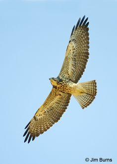 Swainsons Hawk   Raptors, Falcons, Eagles, Falconry, Birds