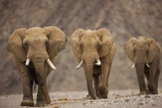 How elephants avoid cancer— Pachyderms have extra copies of a key tumour-fighting gene. Computational Biology, George Santayana, Gene Expression, All About Animals, Molecular Biology, Zoology, Mammals, Cute Pictures, Cancer