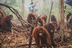 Thousands of forest fires set by Indonesian palm oil companies are endangering both the Orangutan population and our global climate.