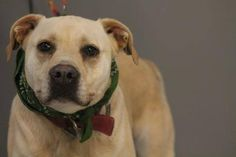 ADOPTED>NAME: Cream  ANIMAL ID: 14866757 BREED: Lab mix  SEX: spayed female  EST. AGE: 3 yrs  Est Weight: 77 lbs  Health: heartworm negative  Temperament: dog friendly, people friendly  ADDITIONAL INFO: O/S  RESCUE PULL FEE: $49  Intake date: 1/5 Available: Now