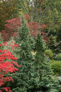 View Plant | Great Plant Picks/ Dwarf Mtn Hemlock, native to the Pacific NW, Mature Height is 20 ft (6.10 meters), and Mature Width is 8 ft (2.44 meters).