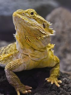 Pet Spotlight: Bearded Dragon  Just got my adolescent dragon today! He's super chill!